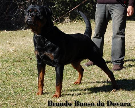 rottweiler studs near me rottweiler working line breeders photo