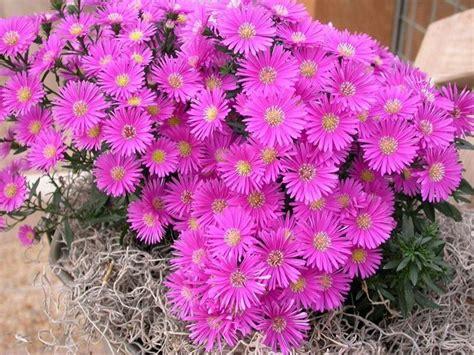 fiori astri settembrini aster naovae angliae perenni astri