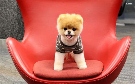 pomeranian sitting 40 pomeranian puppy pictures and photos