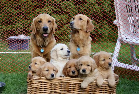 are golden retrievers family dogs golden retriever family 11 high resolution wallpaper dogbreedswallpapers