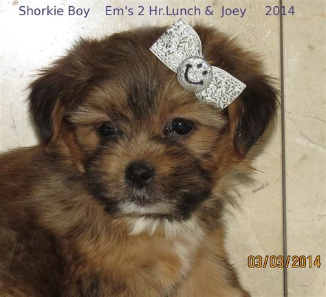 puppy for sale michigan shih tzus furbabies dedicated to rescue rehabilitation and breeds picture
