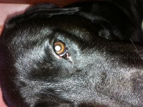 puppy discharge after eye infection discharge redness and pimple on eyelid