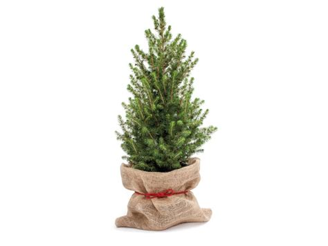 Indoor Decorative Plants Potted Christmas Tree Lidl Great Britain Specials