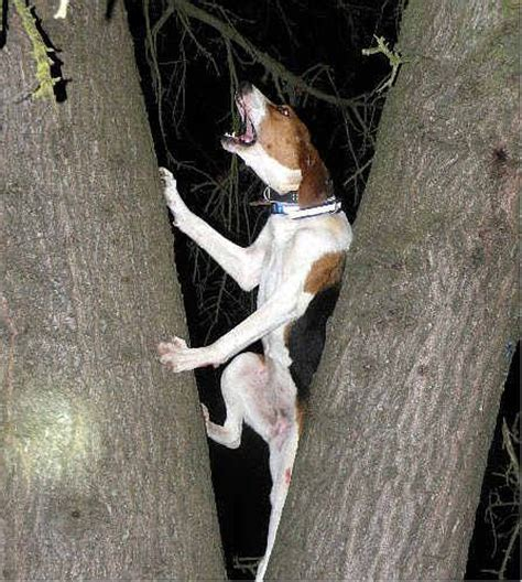 when the dogs bark treed a year on the trail of the longtails classic reprint books 19 best tree walker coonhound images on
