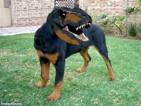 rottweiler direct rottweiler rex pictures freaking news