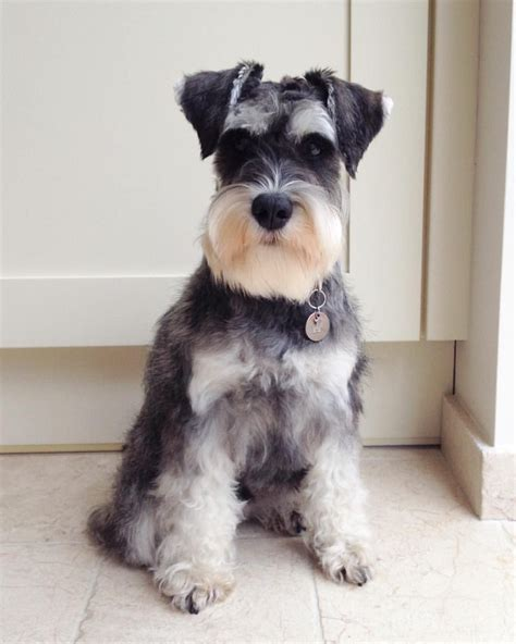 mini schnauser perfect haircut see this instagram photo by hectorpickleton 1 874 likes