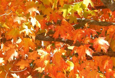 fall leaf colors bulletin 7078 facts about leaf color in maine