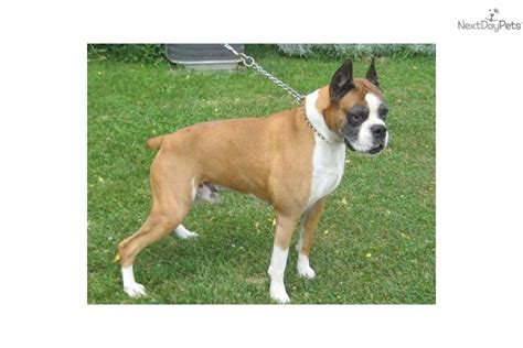akc boxer puppies for sale near me chion sired akc boxer quot quot 21 ch boxer puppy for sale near southeast
