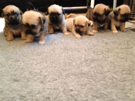 pug lhasa apso puppies for sale lhasa apso pug mix newhairstylesformen2014
