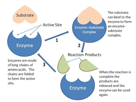 protein vs enzyme enzyme 171 the catalyst