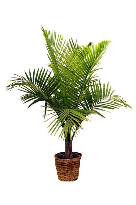 palm species  house plants hardy exotic solutions