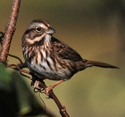 song sparrow identification all about birds cornell