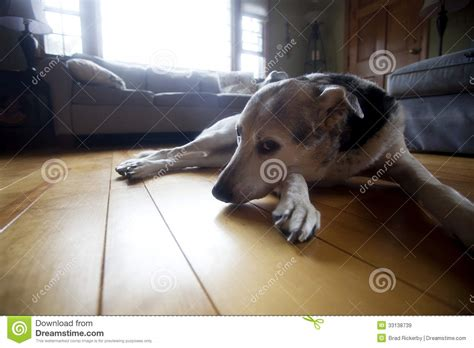 Living Room Flooring For Dogs Coy On Floor Royalty Free Stock Images Image 33138739