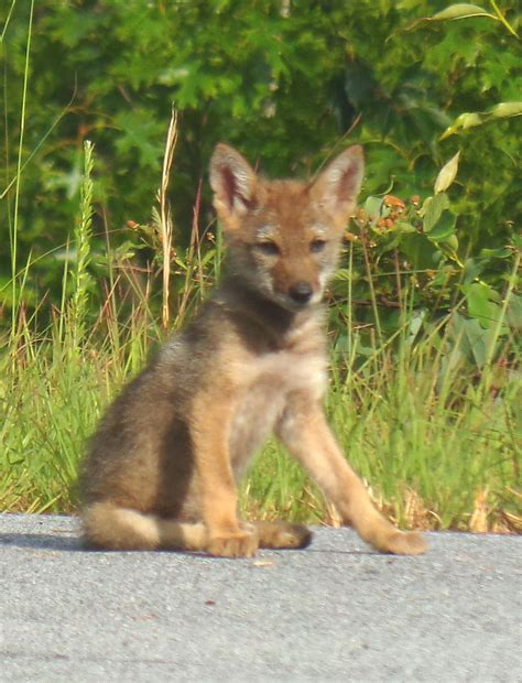 Coyote Pups in Otter Creek Valley | Living in The Blue ...