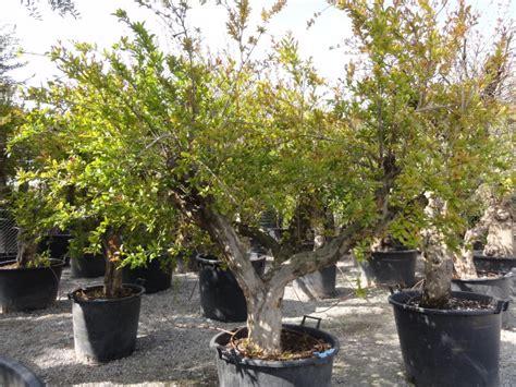 melograno pianta da giardino pin bonsai melograno piante e fiori on