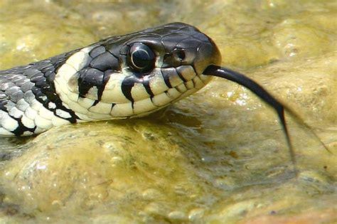 schlangen im garten artenportr 228 t schlingnatter nabu