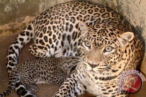 Kaos Endangered Species javan leopards on brink of extinction antara news