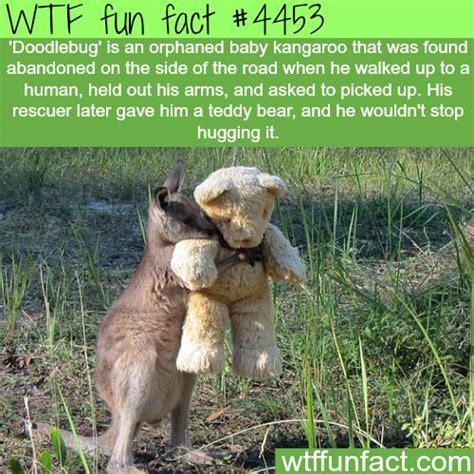doodlebug orphaned baby kangaroo orphaned baby kangaroo only want to hug his teddy