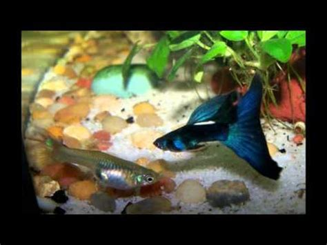 download mp3 from guppy download youtube to mp3 how to breed hybrid molly s and