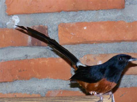 Trucker Bird Murai Batu murai batu susanto adijono bird farm