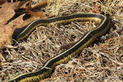 Garter Snake Habitat Snakes Common Garter Snake Josh Fecteau