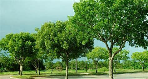 Pohon Juwet Bawang Tinggi 40 Cm inilah enam pohon pereda stres mongabay co id