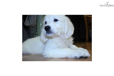 golden retriever puppies in maine golden retriever puppy for sale near new hshire 6b4f4d29 0351