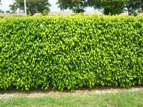 ficus hedge google search home ideas outdoor ideas