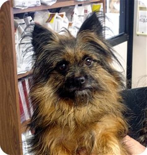 cairn terrier pomeranian mix harry adopted hagerstown md cairn terrier pomeranian mix