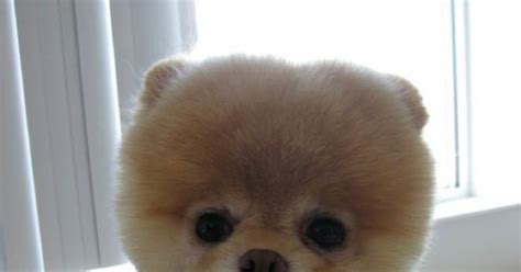 Amazing Stuffs: Boo - The Cutest Dog In The World