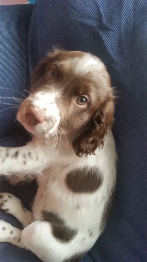 11 week puppy 11 week puppy for sale fleetwood lancashire pets4homes