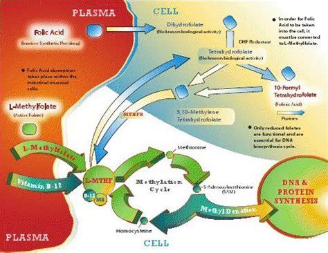 Mthfr Folic Acid Detox by 22 Best Metabolic Of Folic Acid Images On