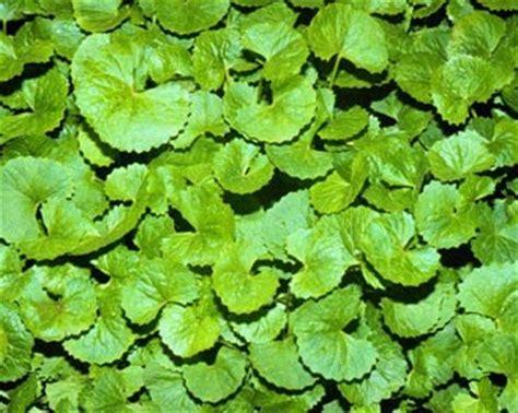 Obat Herbal Uswah jadoel kesehatan obat herbal
