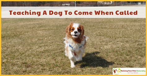 how to my to come when called recall archives raising your pets naturally with tonya wilhelm