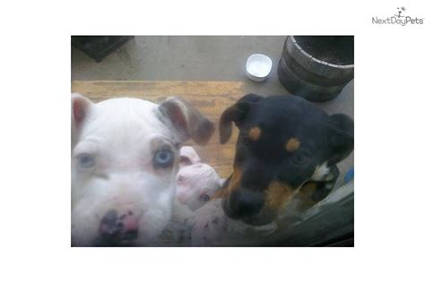 catahoula puppies for sale near me catahoula leopard puppy for sale near eastern co colorado cded30e0 c131