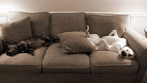 best couch for dog owners 10 signs you re a crazy dog person the odyssey