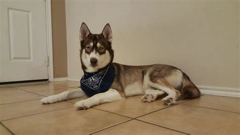 small that doesn t shed my husky had small and doesn t shed introductions husky owners