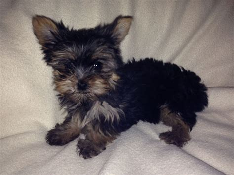 yorkie puppies for sale in colorado terrier puppies for sale terrier in breeds picture