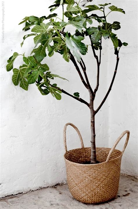 Basket Planter Woven Basket As Fig Tree Planter A Space With Greenery