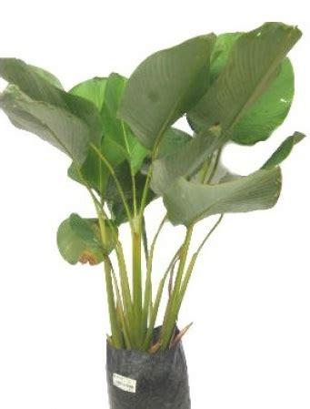tanaman pisang kalatea bibitbungacom