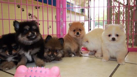 local pomeranians for sale puppies for sale in ga local breeders atlanta autos post