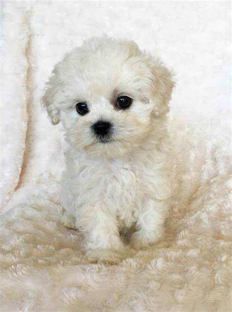 white micro pomeranian for sale uk teacup pomeranian puppy teacup teddy pom the best