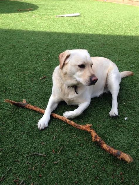 lab puppies for adoption labrador retriever for adoption epsom surrey pets4homes