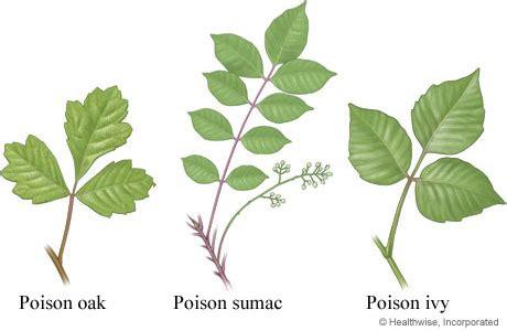 identify poison ivy leaves poison oak ivy sumac identification doityourself com