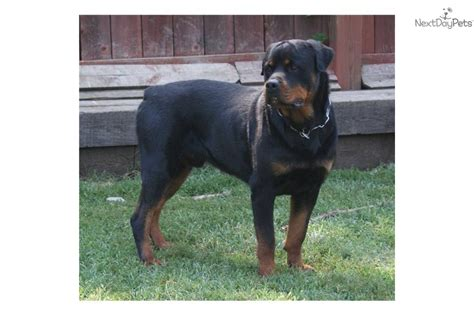 rottweiler puppies in kansas rottweiler working top directory breeds picture