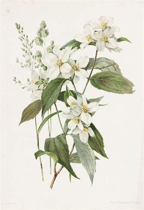 printable botanical images 25 best ideas about botanical flowers on pinterest