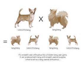 hair chihuahua hair growth what to expect le poil long