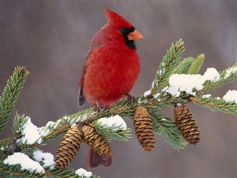 what color are cardinals quotes with pictures of cardinals in summer quotesgram