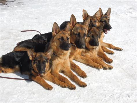 german shepherd puppies colorado german shepherd breeder in colorado rocky mountain german shepherds