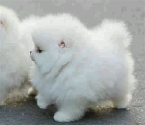 fuzzy puppies white fuzzy puppy puppies dogs